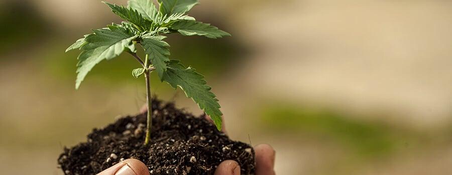 Transplant Cannabis Seedling