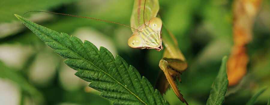 Mantis And Cannabis Terpenes