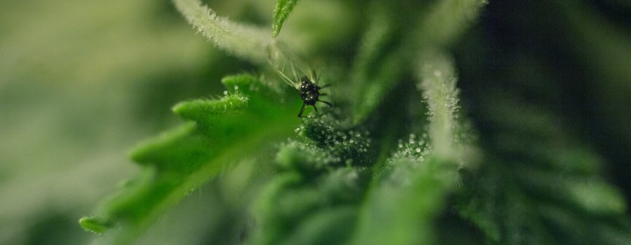 Pest cannabis plants