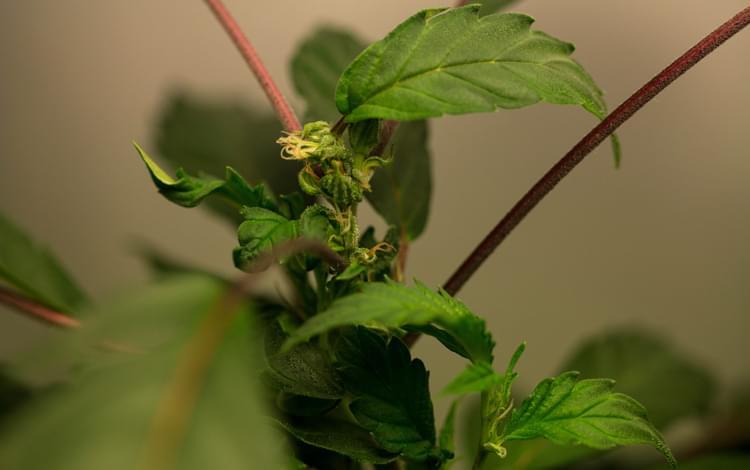 revegetación cannabis planta regeneración madre marihuana