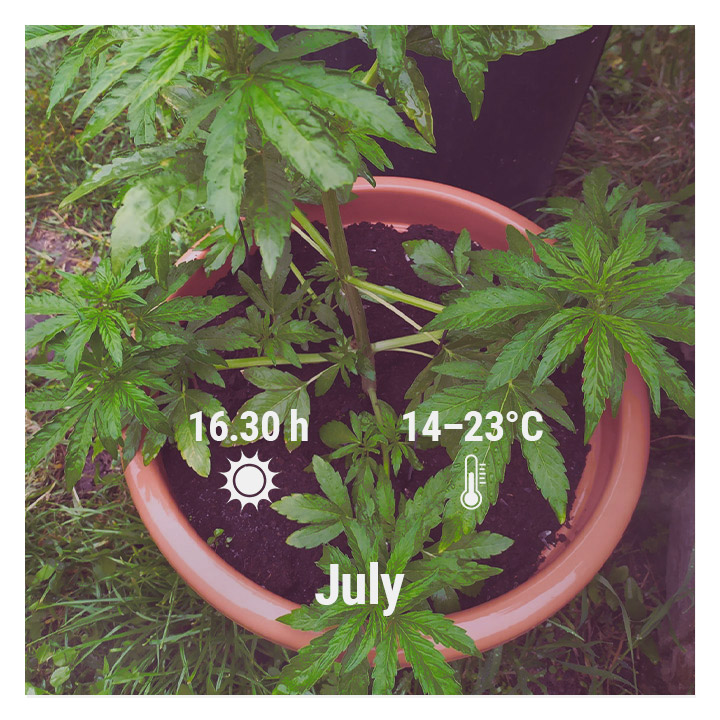 How To Grow Cannabis Outdoors - Belgium