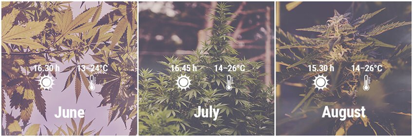 How To Grow Cannabis Outdoors In Germany June, July, August