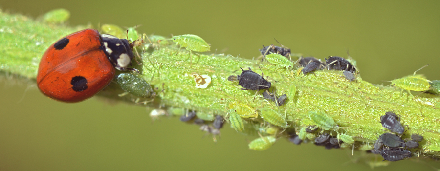 Ladybug cannabis