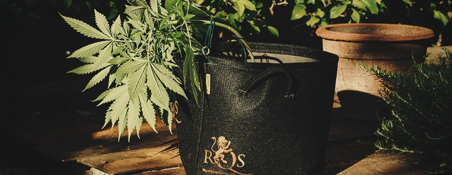 Royal Queen Seeds Container For Low Stress Training Technique in Cannabis Cultivation