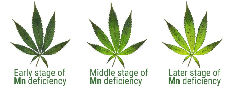 Curing Manganese Deficiency In Cannabis - RQS Blog
