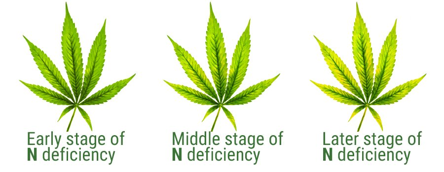 Nitrogen deficiency table leaf