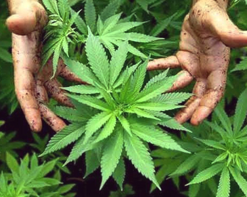 the best marijuana plants