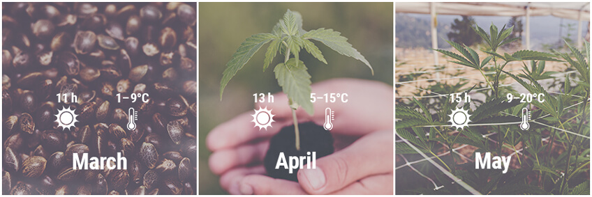 How To Grow Cannabis Outdoors In Germany March, April, May