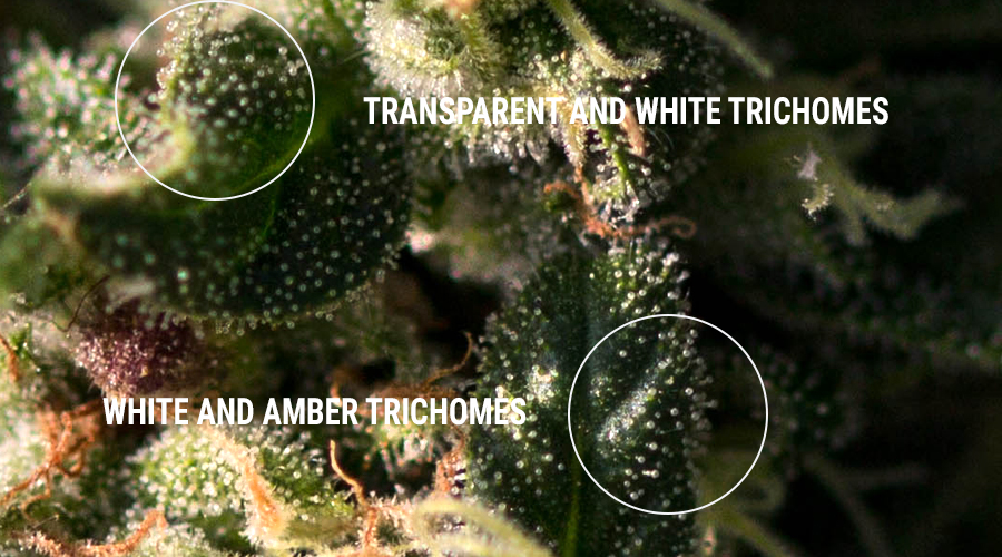 trichomes hashish resin extracts concentrates