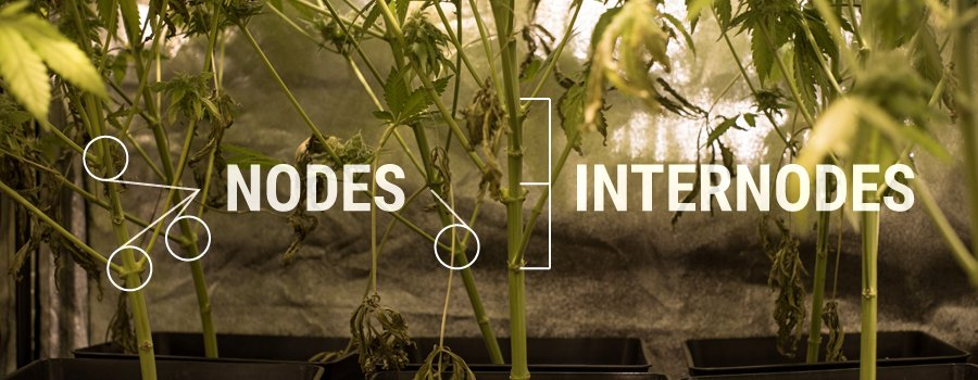 Nodes Internodes Cannabis Plant Structure