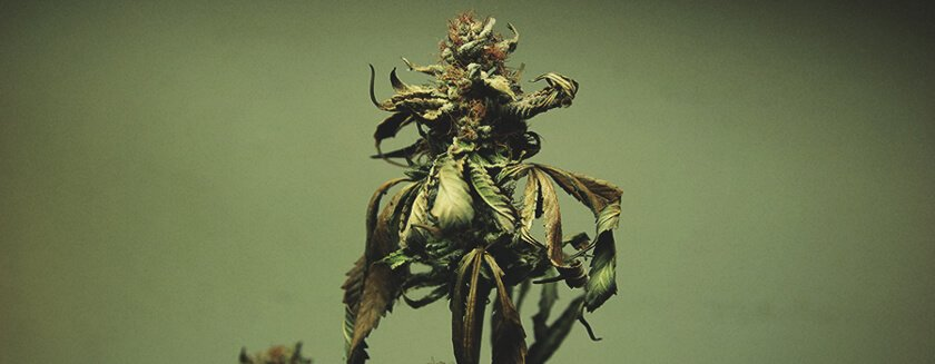 Leaf Cannabis Bud Burnt
