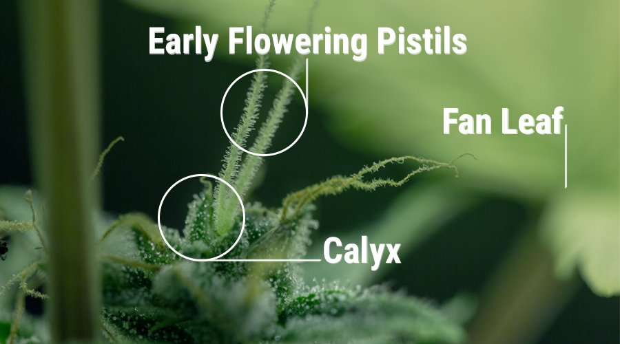 calyx cannabis plant female reproductive organs of the plant