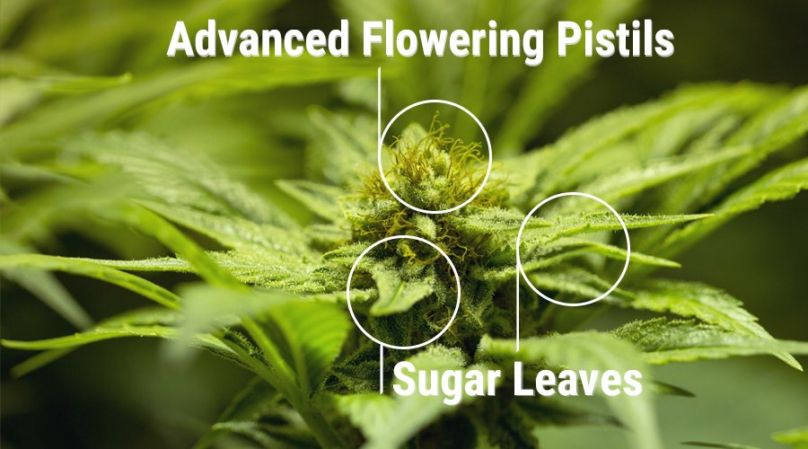 sugar leaves bud cannabis plant resin colas