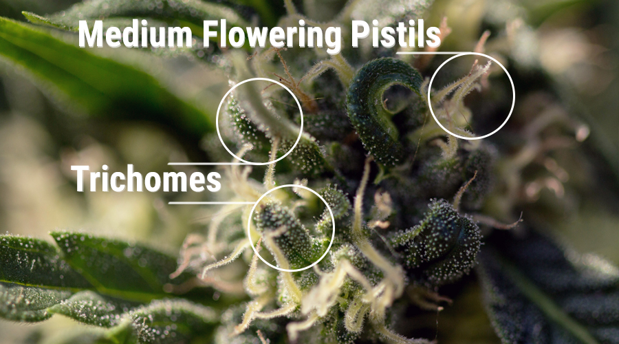 pistils female plant pollinate
