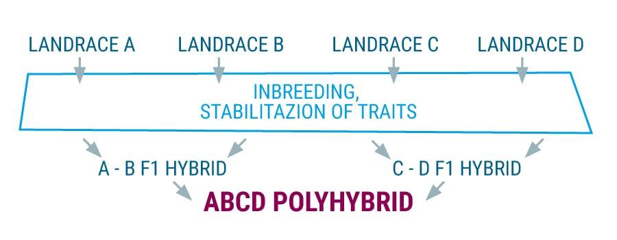 Polyhybrid landrace cannabis strains