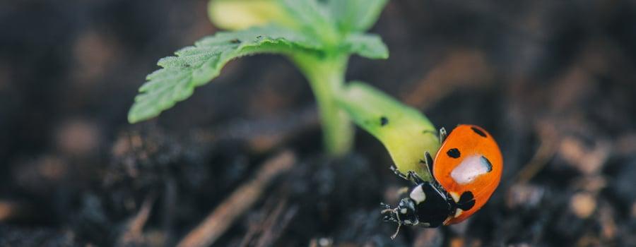 Predator Ladybug Aphids