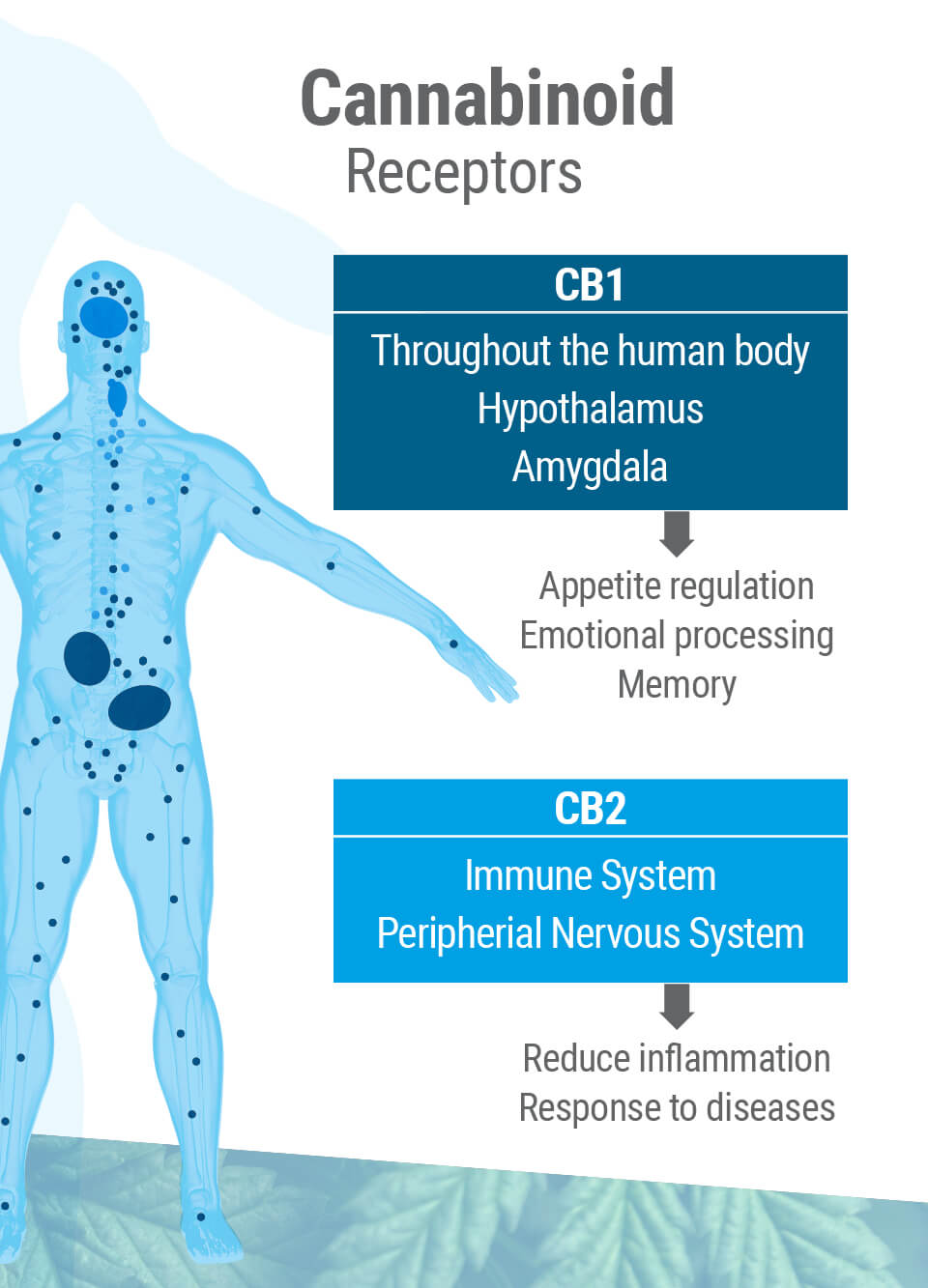 Cannabinoid Receptors, CB1 and CB2