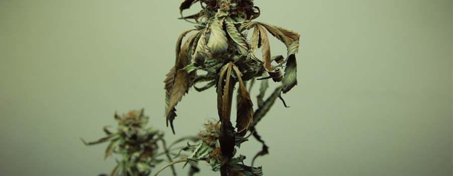 fusarium root rot leaves fungus cannabis