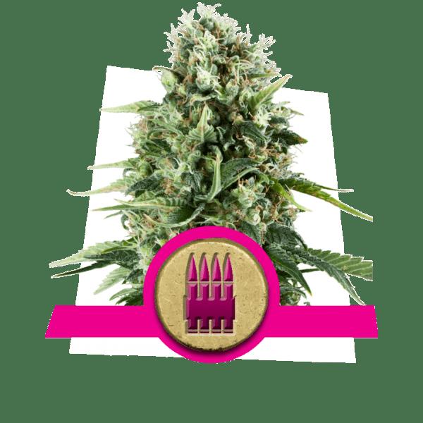 Royal Ak niveles de dopamina creatividad cannabis cepas aumentar aumento lóbulo frontal correlatividad estudio pensamiento divergente búsqueda de novedad