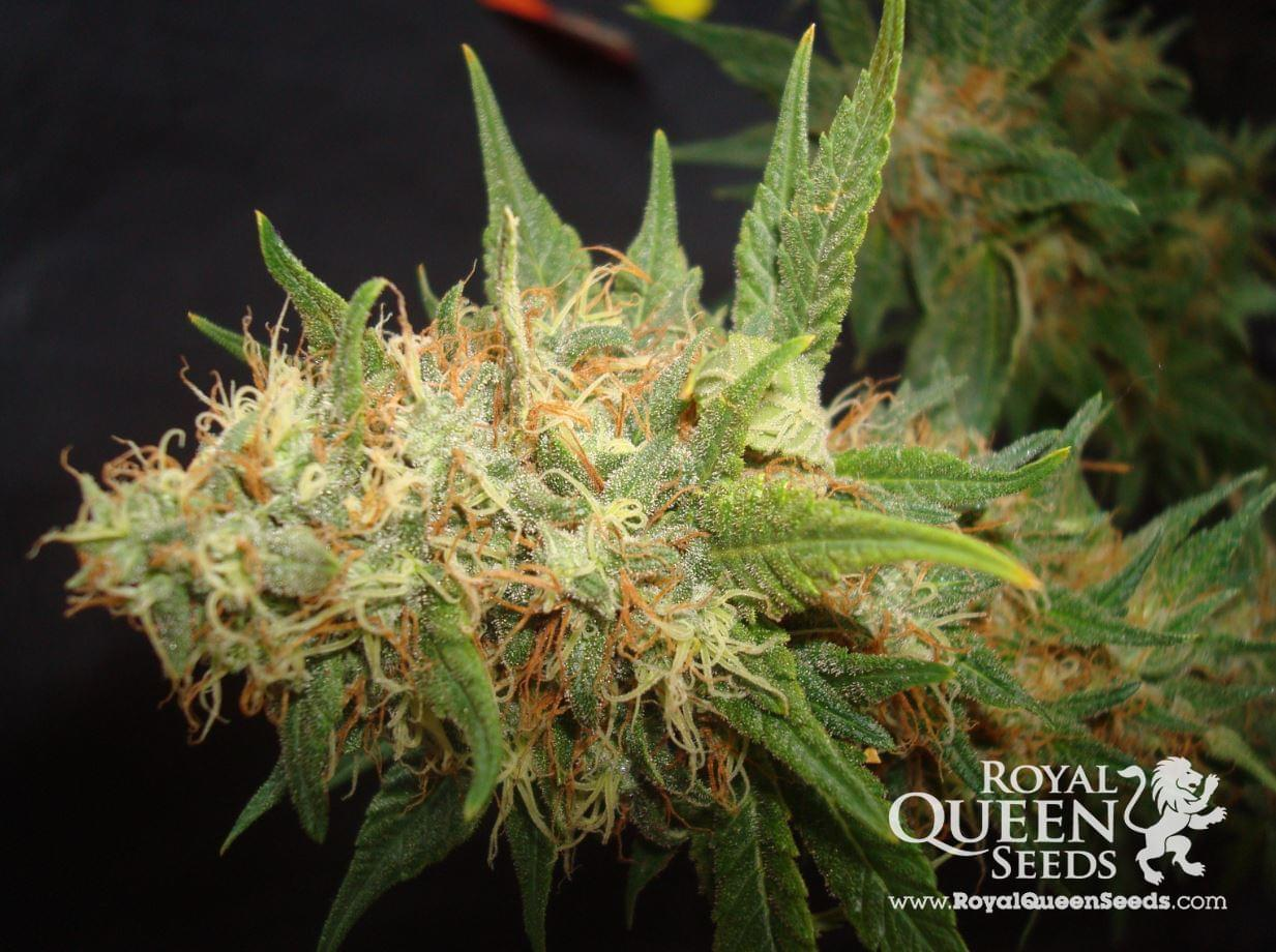 Royal Cheese Feminized Cannabis