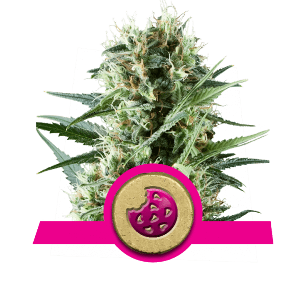 Royal Cookies dopamine levels creativity cannabis strains boost increase frontal lobe correlativity study divergent thinking novelty-seeking