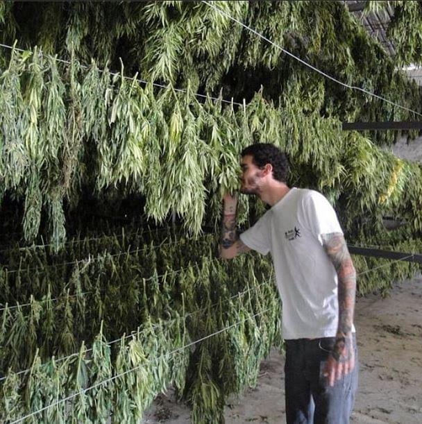 Harvest time for Culture cannabis exterieur en pot