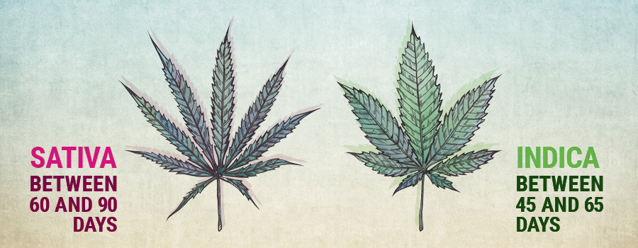 non flowering cannabis is a common but preventable problem rqs blog