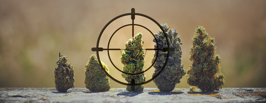 sniper strain hunters cannabis strains landrace around the world