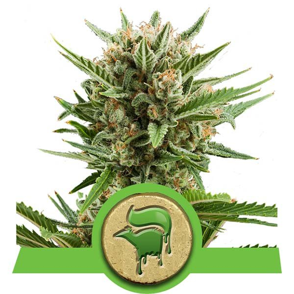 sweet skunk royal queen seeds