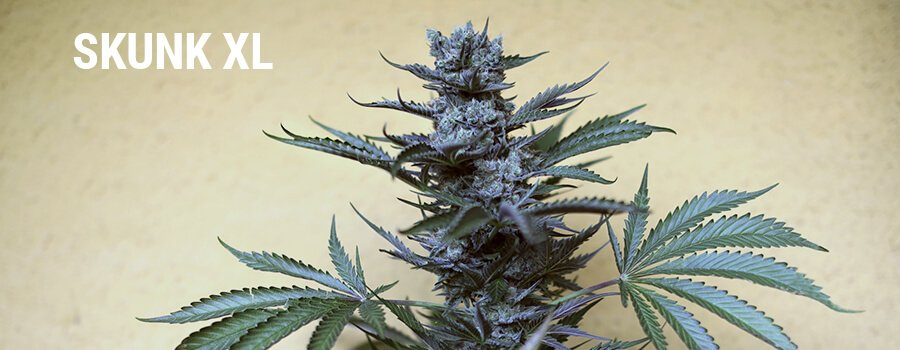 Skunk XL Royal Queen Seeds