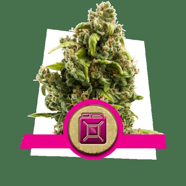Sour Diesel dopamine levels creativity cannabis strains boost increase frontal lobe correlativity study divergent thinking novelty-seeking
