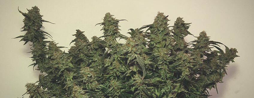 Stress Killer Automatic CBD Royal Queen Seeds