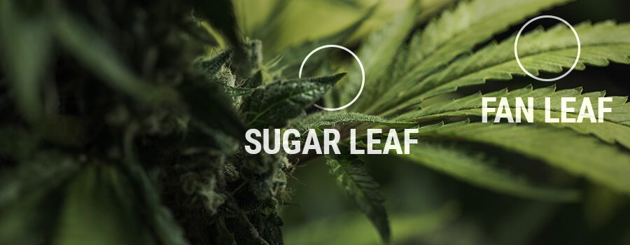 Sugar Leaf vs Fan Leaf