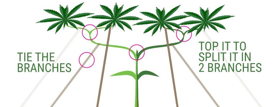 main-lining technique cannabis cultivation
