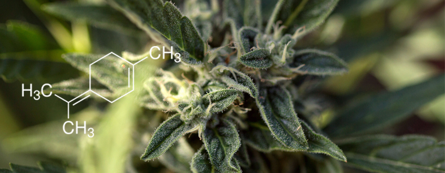 Terpinolene terpene cannabis