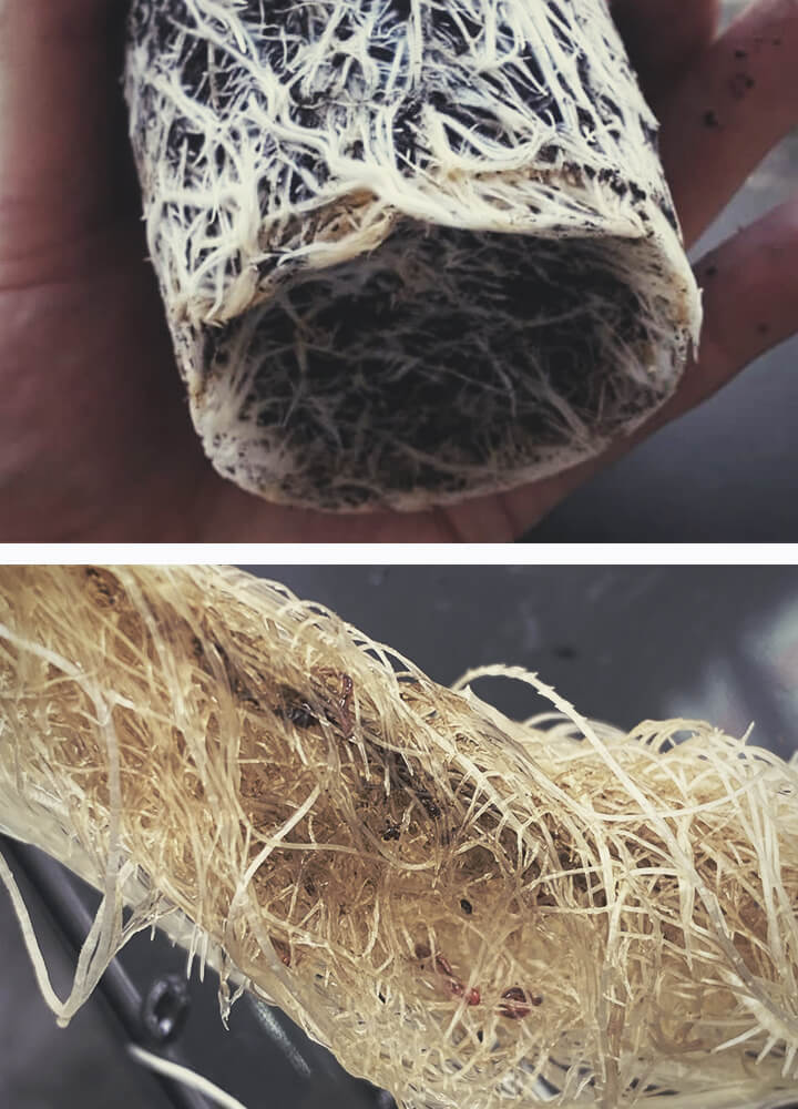 Root Bound Cannabis Plant