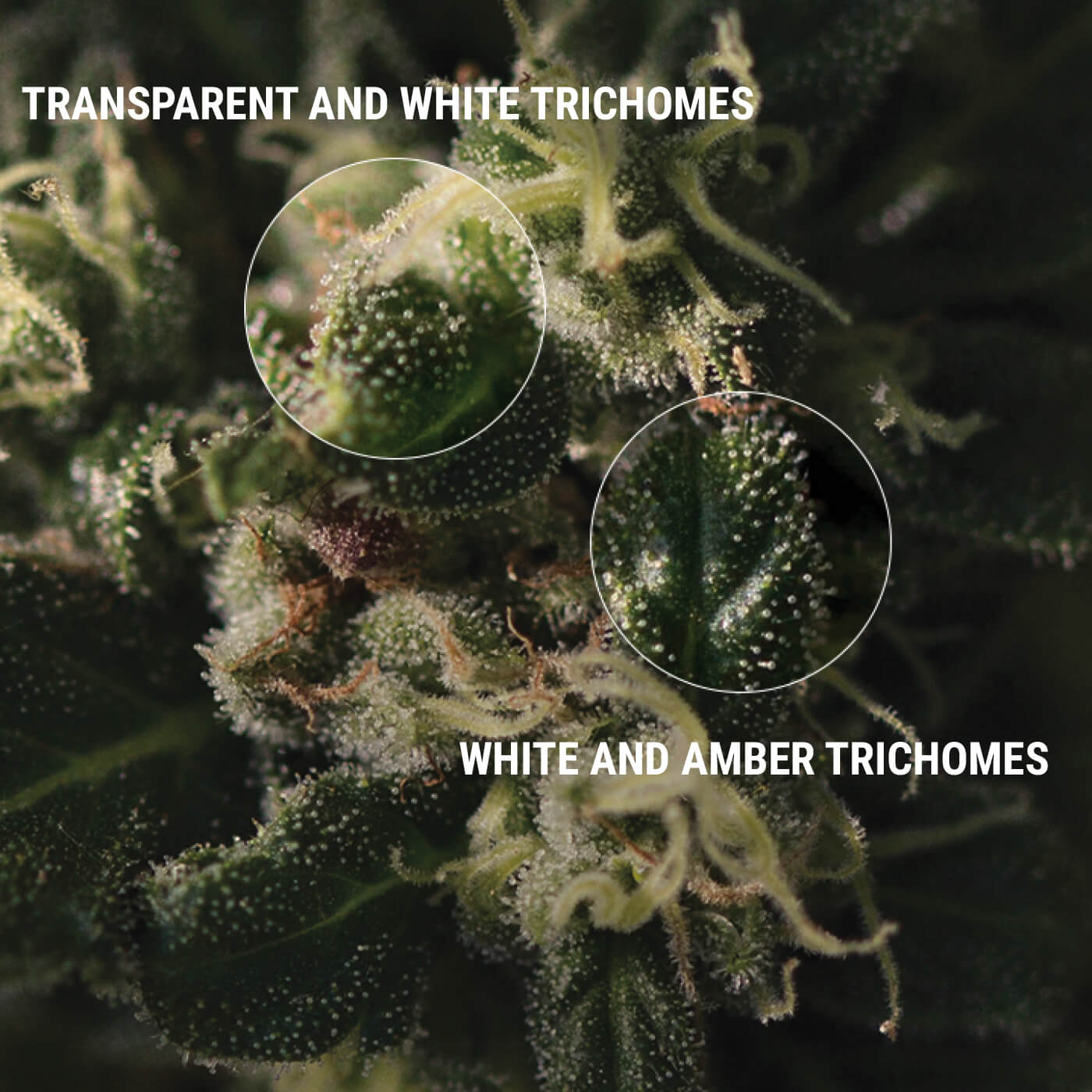 HOW TO INSPECT YOUR TRICHOMES