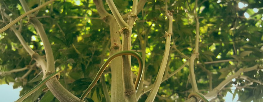 manifold cannabis growing