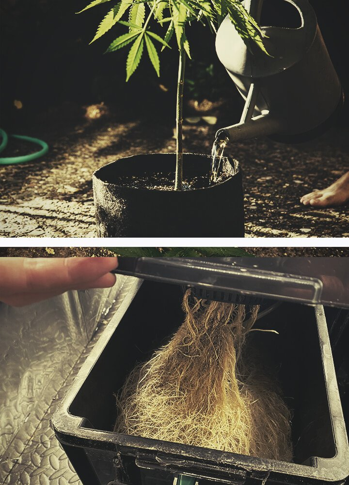 Cannabis roots grow in constant search of water and nutrients