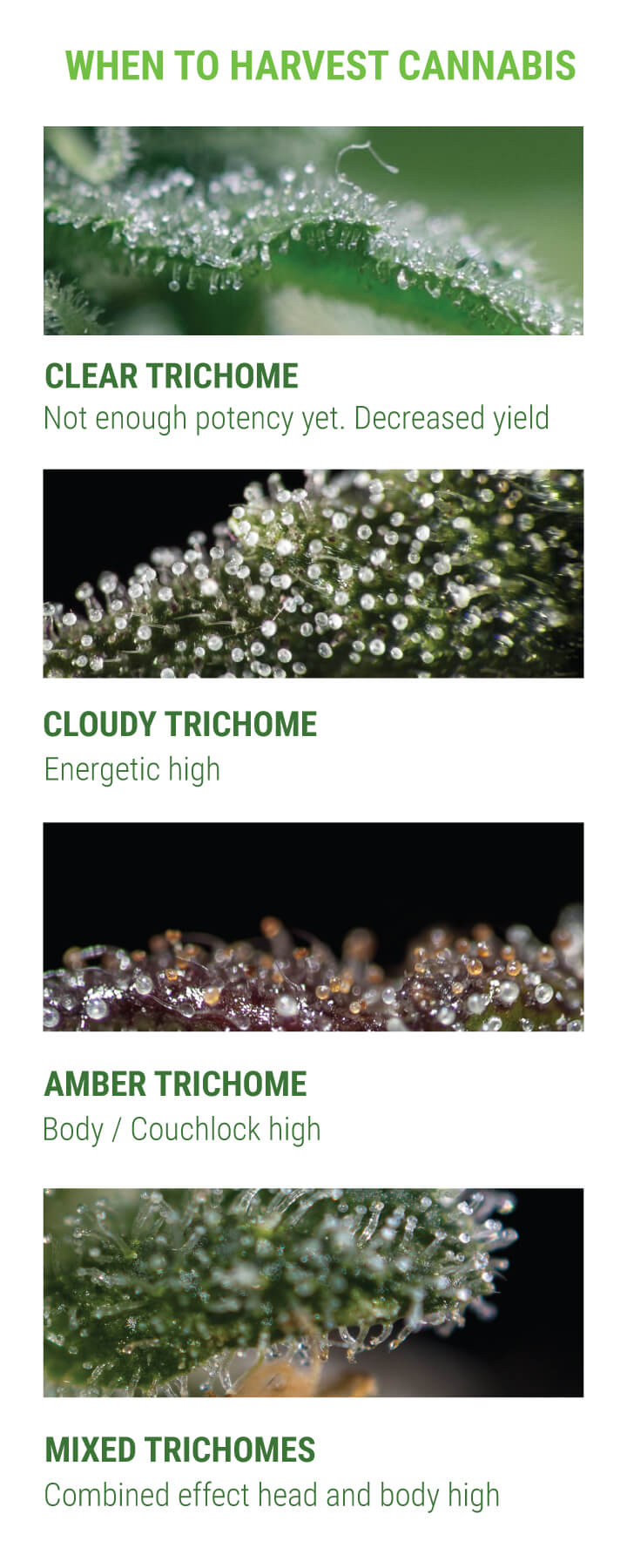 When to Harvest Cannabis by Trichomes Approach