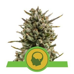 Buy Amnesia Haze Automatic