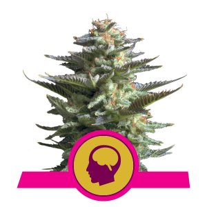 Royal Queen Seeds Amnesia Haze Cannabis Cup Winner