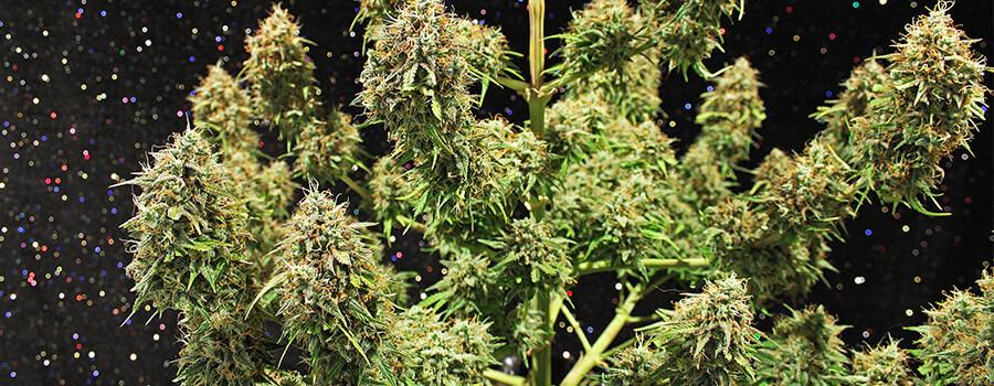 Amnesia Haze Cannabis Warmer Climates