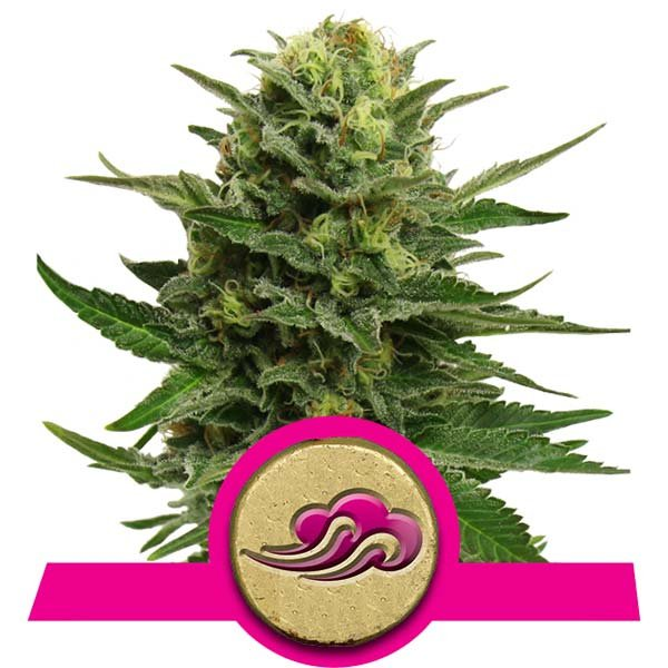 meditation cannabis strains blue mystic