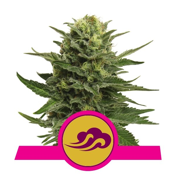 Blue Mystic Feminized