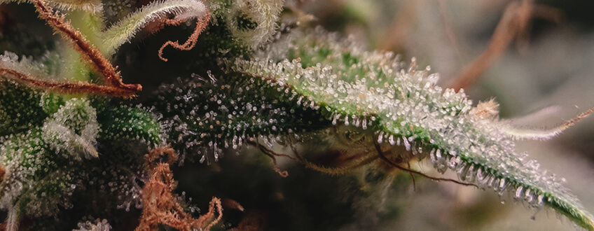TRICHOMES BEGIN TO CHANGE IN APPEARANCE