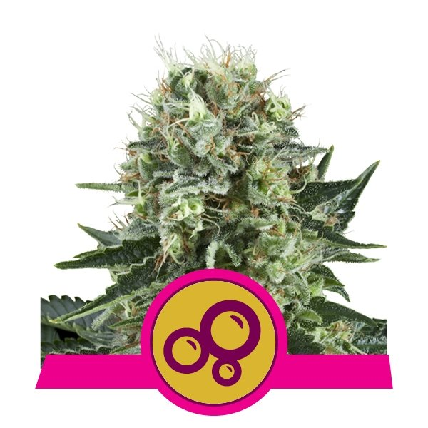 Top 10 Kush Cannabis Strains From Royal Queen Seeds - RQS Blog