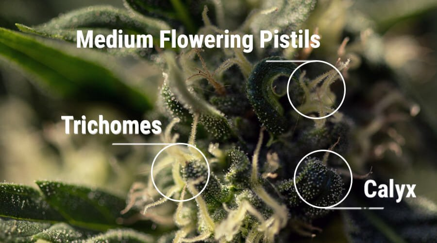 What Does The Calyx Tell An Experienced Grower
