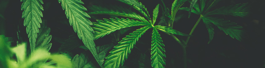 green weed leaf