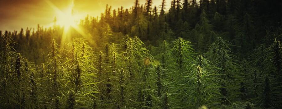 Guerrilla Cannabis Sunny